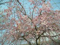 桜の写真 きょうは青空に映えてキレイに撮れました。v(^^)