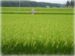 実家の近くの田んぼ もうすぐ稲刈りね
