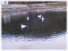 白鳥が6羽