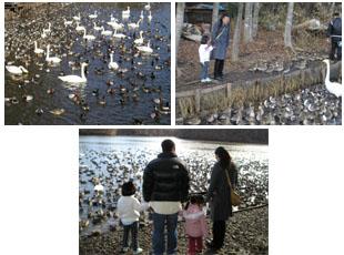 白鳥や鴨が来る池で