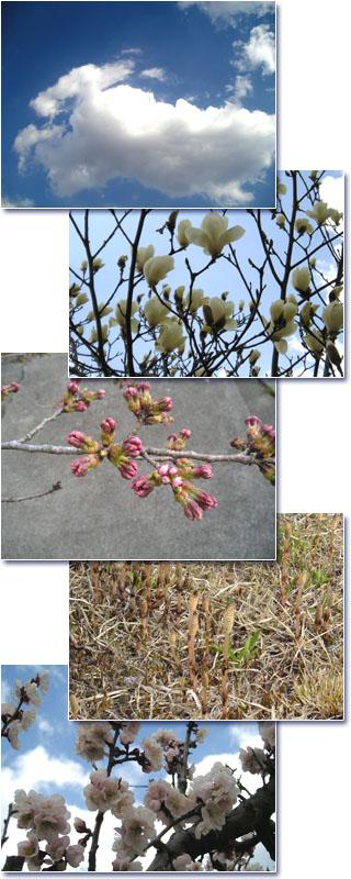 桜の蕾、きょうの青空、つくし、梅、白い木蓮の写真