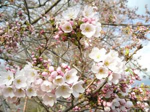 咲き始めた桜の写真