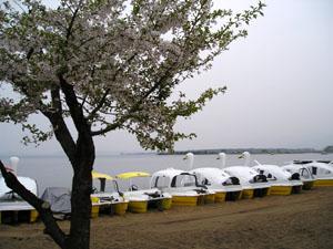 猪苗代湖の桜と白鳥ボート