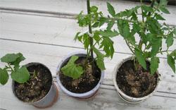 オクラ、ゴーヤ、トマトの苗