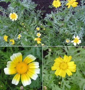黄色の春菊の花