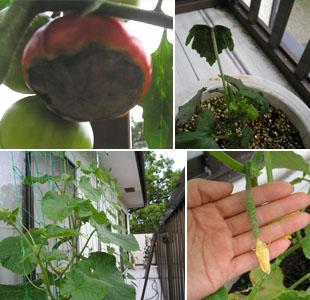 オクラ、トマト、きゅうりなど