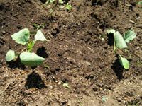 ブロッコリーとカリフラワーの苗