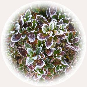 霜のついた葉っぱ