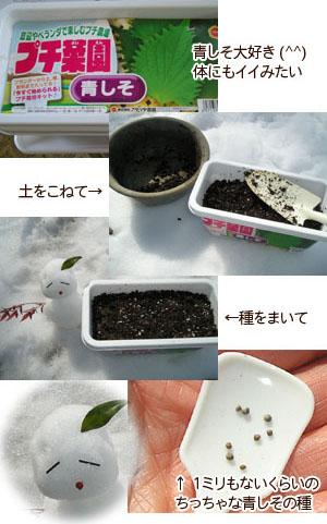 青シソ栽培キット