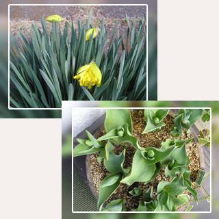 庭の水仙と鉢植えしたチューリップ