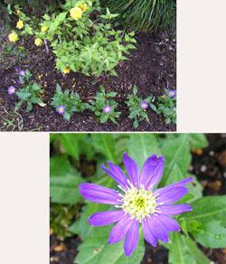 ミヤコワスレと山吹の花