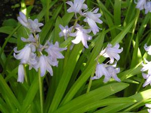 庭の青い花