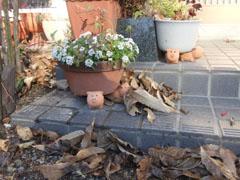 玄関前の枯葉