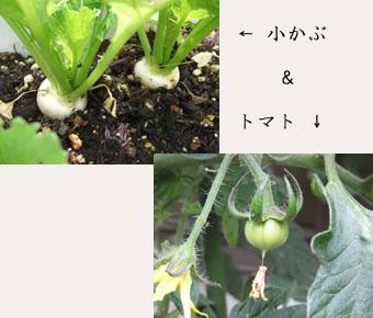 小かぶとトマト