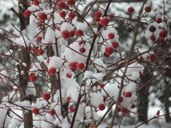 南天の赤い実に雪