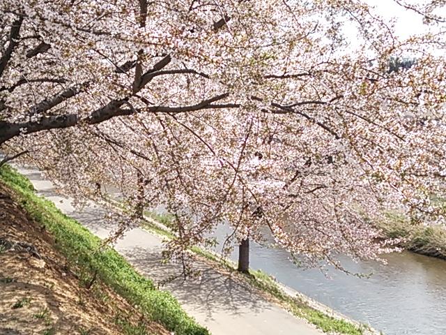 桜が満開(^^)