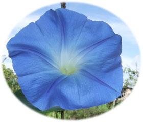 青いアサガオ