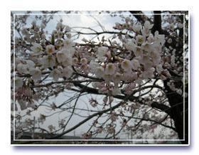 桜の写真~満開までもう少し♪