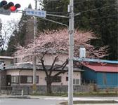 道端の桜の写真~3分咲き