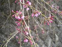 咲き始めた枝垂桜の写真