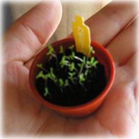 カモミールの芽が出て双葉になりました